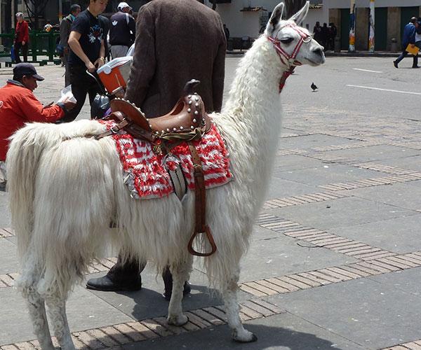 camelos-e-lamas-07